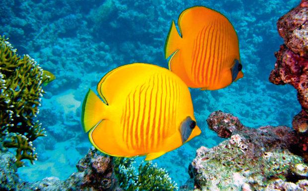 Zitronenfalter Fisch